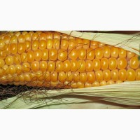 Посівний матеріал кукурудзи