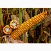 Насіння кукурудзи Тор (ФАО 280) Новинка от ВНІС
