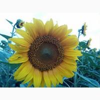 Ns sumo 556 насіння соняшнику (сербська селекція)