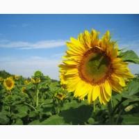 Якісне насіння кукурудзи Яніс (ФАО 270)