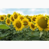 Насіння соняшнику гібриди під ГРАНСТАР