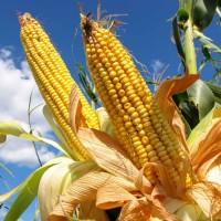 Посівний матеріал кукурудзи Вакула ФАО 250