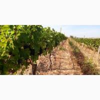 Продам Виноград, Каберне-Совиньон, Вино-продукт