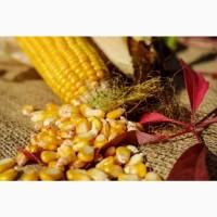 Толерантний до посушливих умов гібрид кукурудзи ЯНІС(ФАО 270)