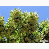 Продам саджанці неплодоносних дерев
